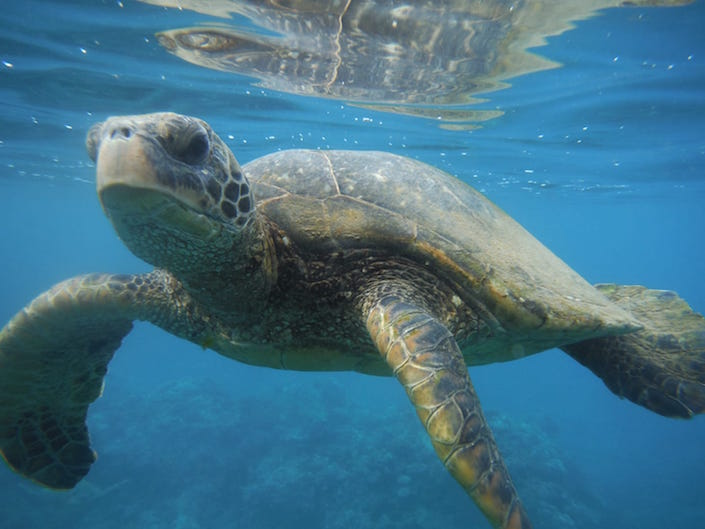 Sea turtle up close, swimming