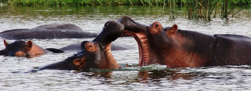 hippos in water trying to bite each other