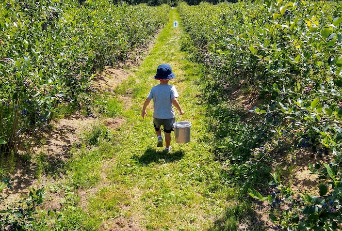 child picking blueberries